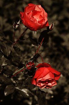 Free Rose Royalty Free Stock Photos - 365238