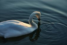 Free Swan Royalty Free Stock Photos - 365328
