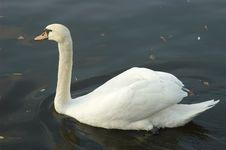 Free Swan Royalty Free Stock Photo - 366515