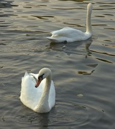 Free Swans Stock Images - 366574