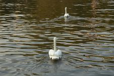 Free Swans Royalty Free Stock Photo - 366575