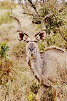 Free Kudu, South Africa Stock Photos - 367103
