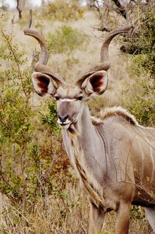 Free Kudu, South Africa Stock Images - 367104