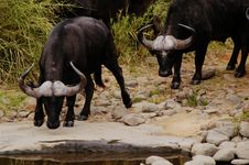 Free Buffalo, South Africa Royalty Free Stock Image - 367106