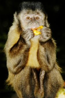 Free Capuchin Monkey Stock Photography - 367132