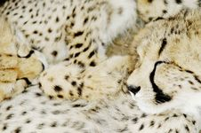 Free Cheetah (Acinonux Jubatus) Cubs, South Africa Royalty Free Stock Image - 367156