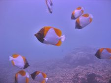 Free Pyramid Butterflyfish Stock Image - 368741