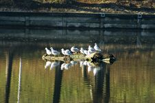 Free Seagulls Royalty Free Stock Photography - 369047