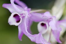 Free Dendrobium Parishii Orchid Stock Photography - 369082
