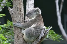 Free Koala In Tree Stock Photos - 369563