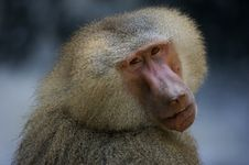 Free Hamadryas Baboons Stock Photo - 3600020
