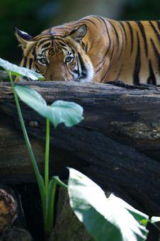 Free Malaysian Tiger Stock Image - 3600111
