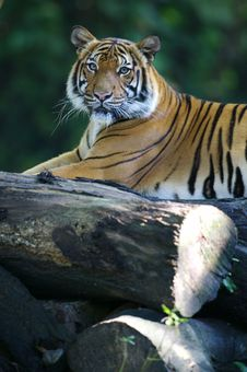 Free Malaysian Tiger Stock Images - 3600114