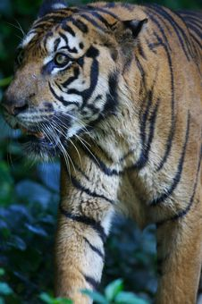 Free Malaysian Tiger Royalty Free Stock Images - 3600119
