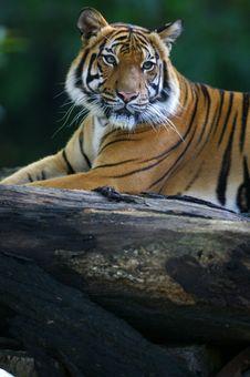 Free Malaysian Tiger Royalty Free Stock Photo - 3600125
