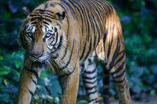 Free Malaysian Tiger Stock Image - 3600131