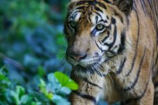 Free Malaysian Tiger Royalty Free Stock Images - 3600169