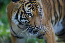 Free Malaysian Tiger Stock Photo - 3600180