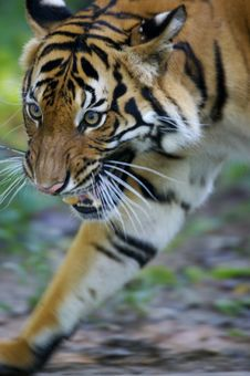 Free Malaysian Tiger Stock Images - 3600294