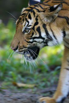 Free Malaysian Tiger Stock Photos - 3600303