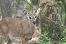 Free Female Deer Looking At Photographer Stock Photography - 3600972
