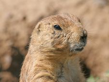Free Prairie Dog, Close Up Royalty Free Stock Photography - 3601877