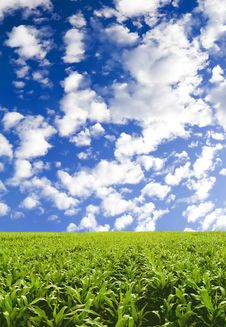 Free Corn Field Under Blue Sky Royalty Free Stock Photo - 3603425