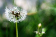 Free Taraxacum Dandelion 3 Stock Images - 3603614