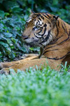 Free Malaysian Tiger Royalty Free Stock Photography - 3603657