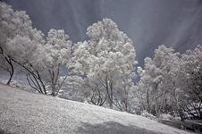 Free Infrared Photo- Tree, Skies Royalty Free Stock Photos - 3603718