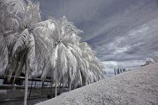 Infrared Photo- Coconut Tree Stock Photography