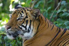Free Malaysian Tiger Royalty Free Stock Image - 3604046