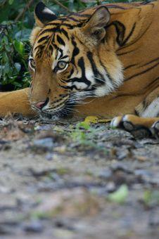 Free Malaysian Tiger Stock Photo - 3604080