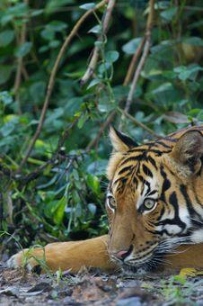 Free Malaysian Tiger Stock Photos - 3604083