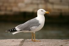 Free Seagull On Rock Royalty Free Stock Photography - 3606037