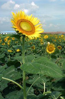 Free Sunflower Royalty Free Stock Photos - 3606038