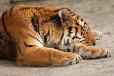 Free Tiger Sleeping Royalty Free Stock Photos - 3606208