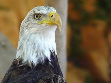 Free American Eagle Stock Photography - 3606642