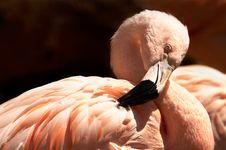 Free Flemish Pink Stock Image - 3606781