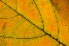 Free Leaf Veins Stock Image - 3607531