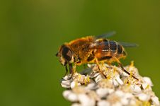 Free Hoverfly Royalty Free Stock Images - 3607869