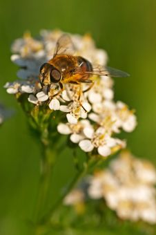 Free Hoverfly Royalty Free Stock Photography - 3607887
