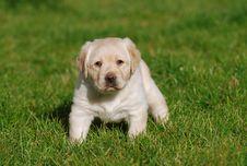 Free Labrador Puppy Stock Photography - 3608052