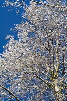 Free Birches 04 Stock Photo - 3608580