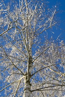 Free Birches 05 Royalty Free Stock Photography - 3608667