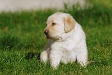 Free Labrador Puppy Royalty Free Stock Image - 3608676