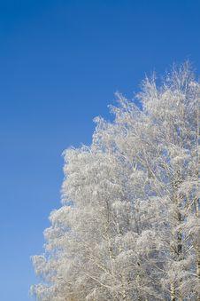 Free Birches 10 Stock Image - 3608961