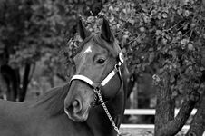 Free Quarter Horse Stallion Stock Photography - 3609532