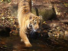 Free Bengal Tiger Royalty Free Stock Photo - 3609825