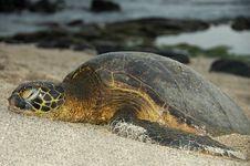 Sleeping Green Sea Turtle Stock Image